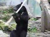 Это не панда...но абсолютный конфу-медведь !!